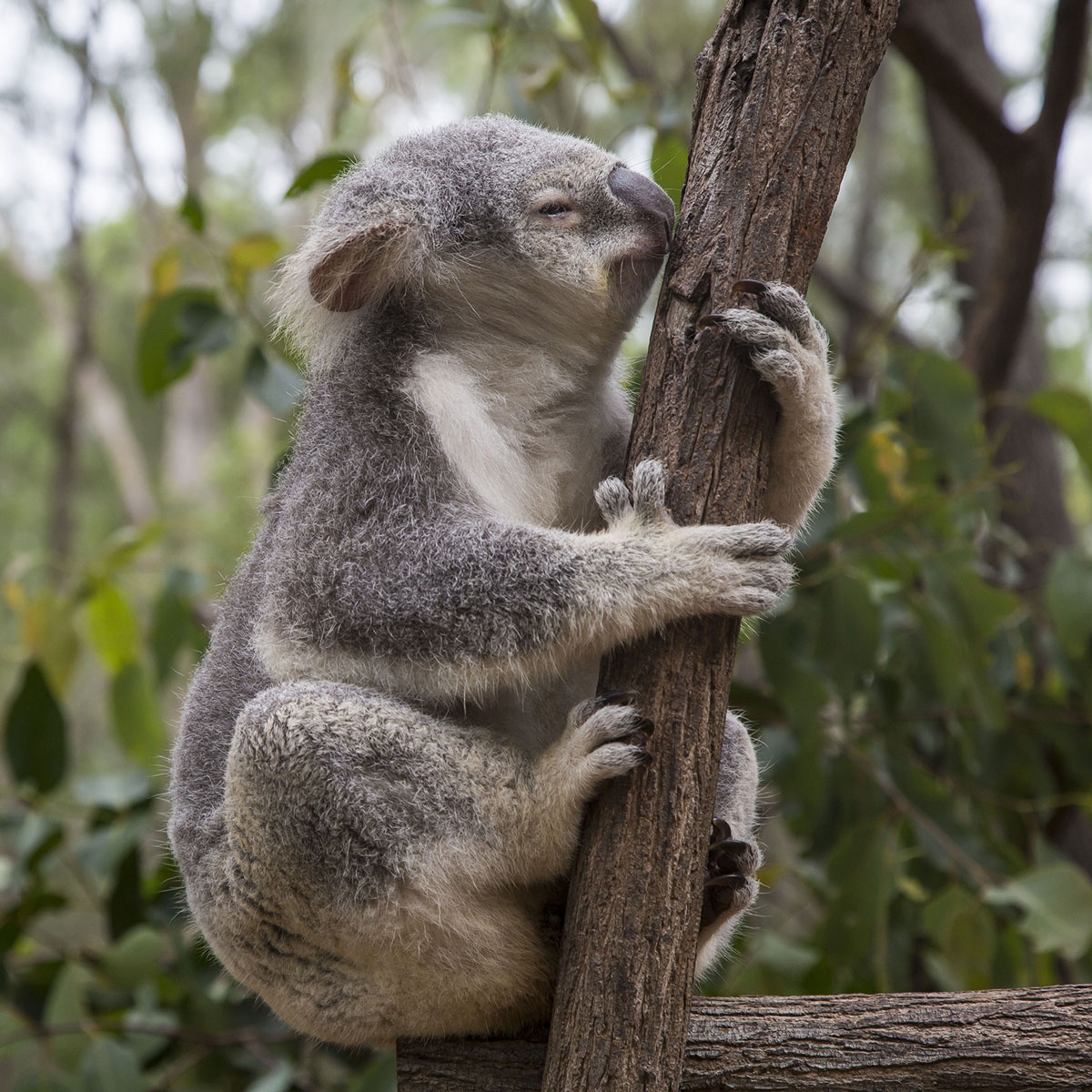 Koala Bear, Australia