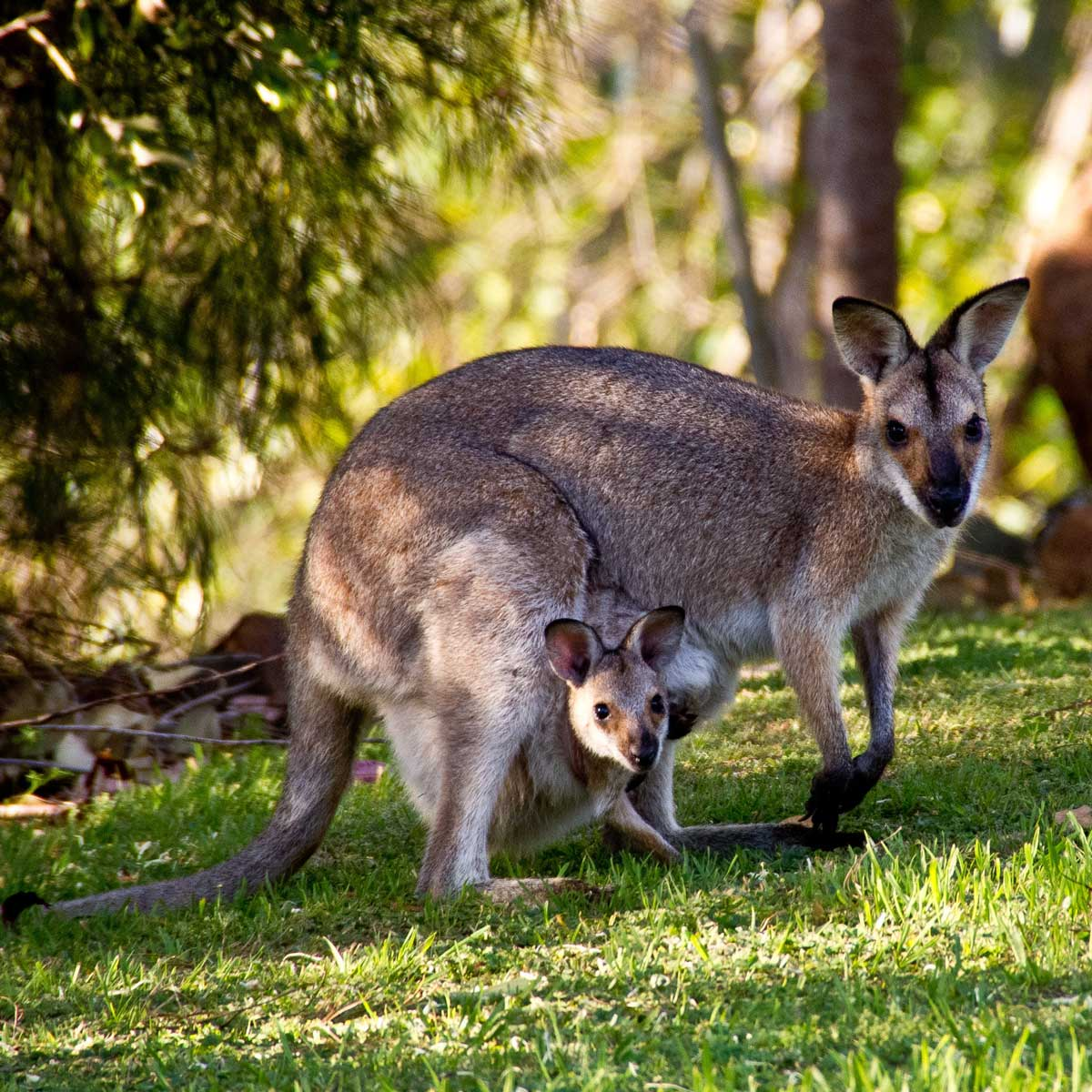 Wallabies in Queensland, Australia