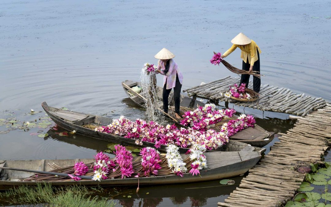 Water Lily Harvesting on the Mekong River, Vietnam