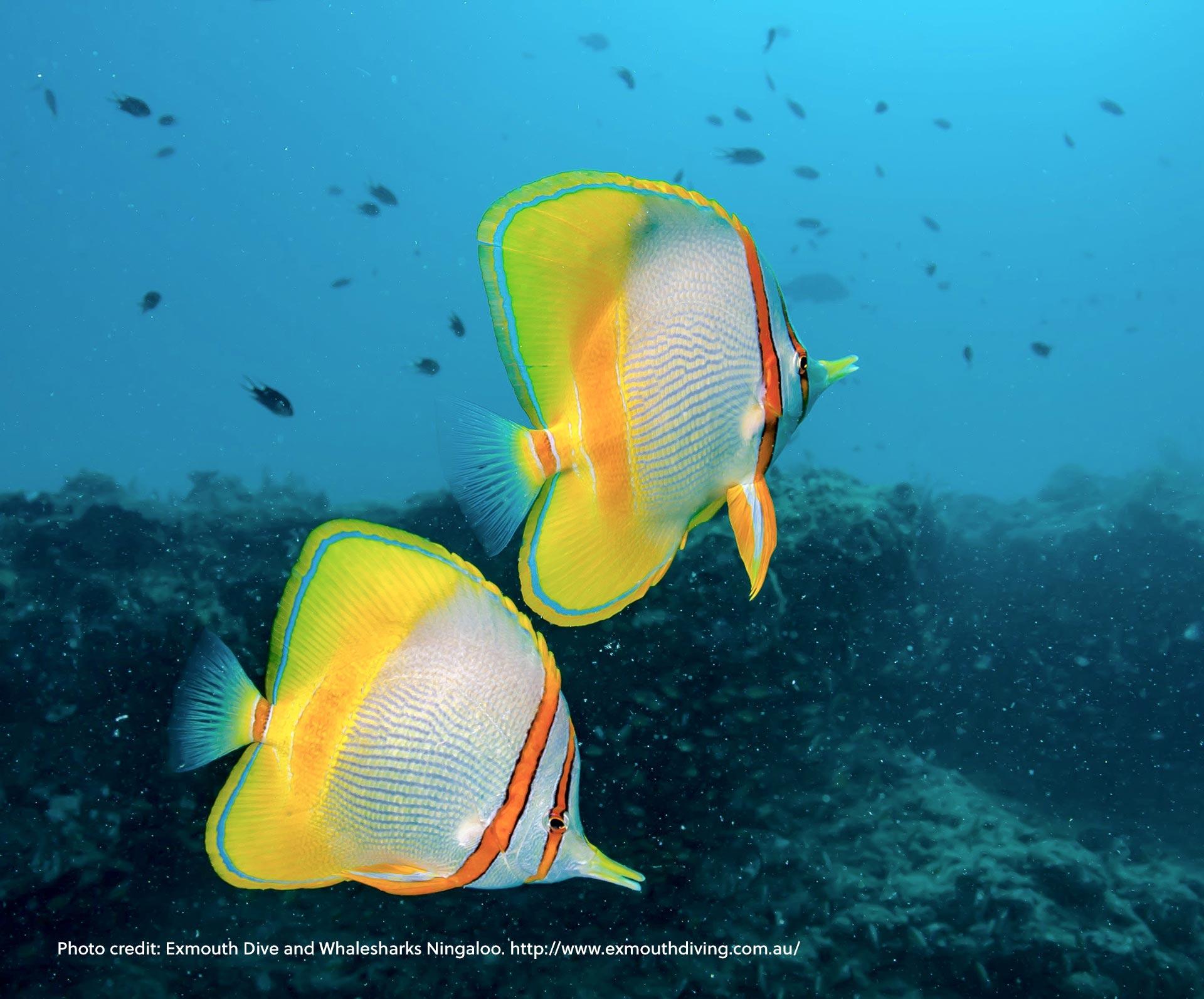 Colourful Fish at Ningaloo Marine Park, Western Australia