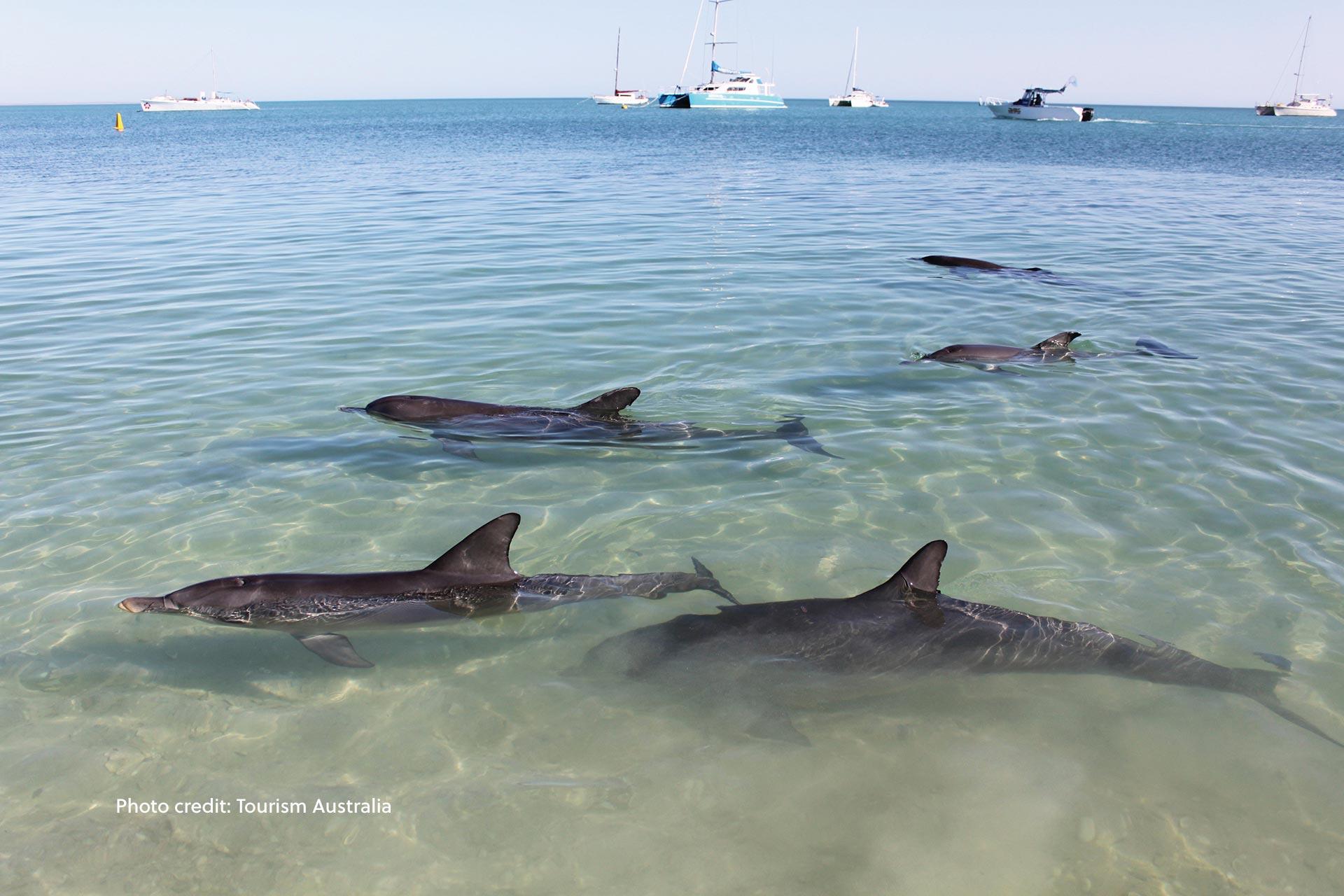 Dolphins come to shore at Monkey Mia, Western Australia