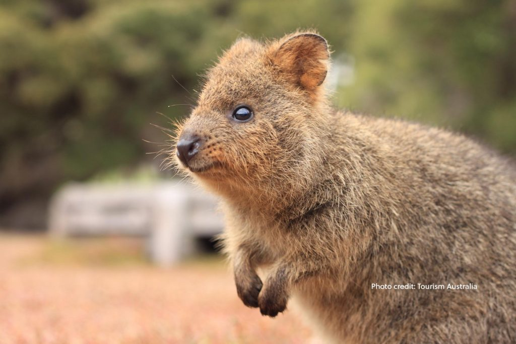 Cute Quokka, Rottnest Island, Western Australia