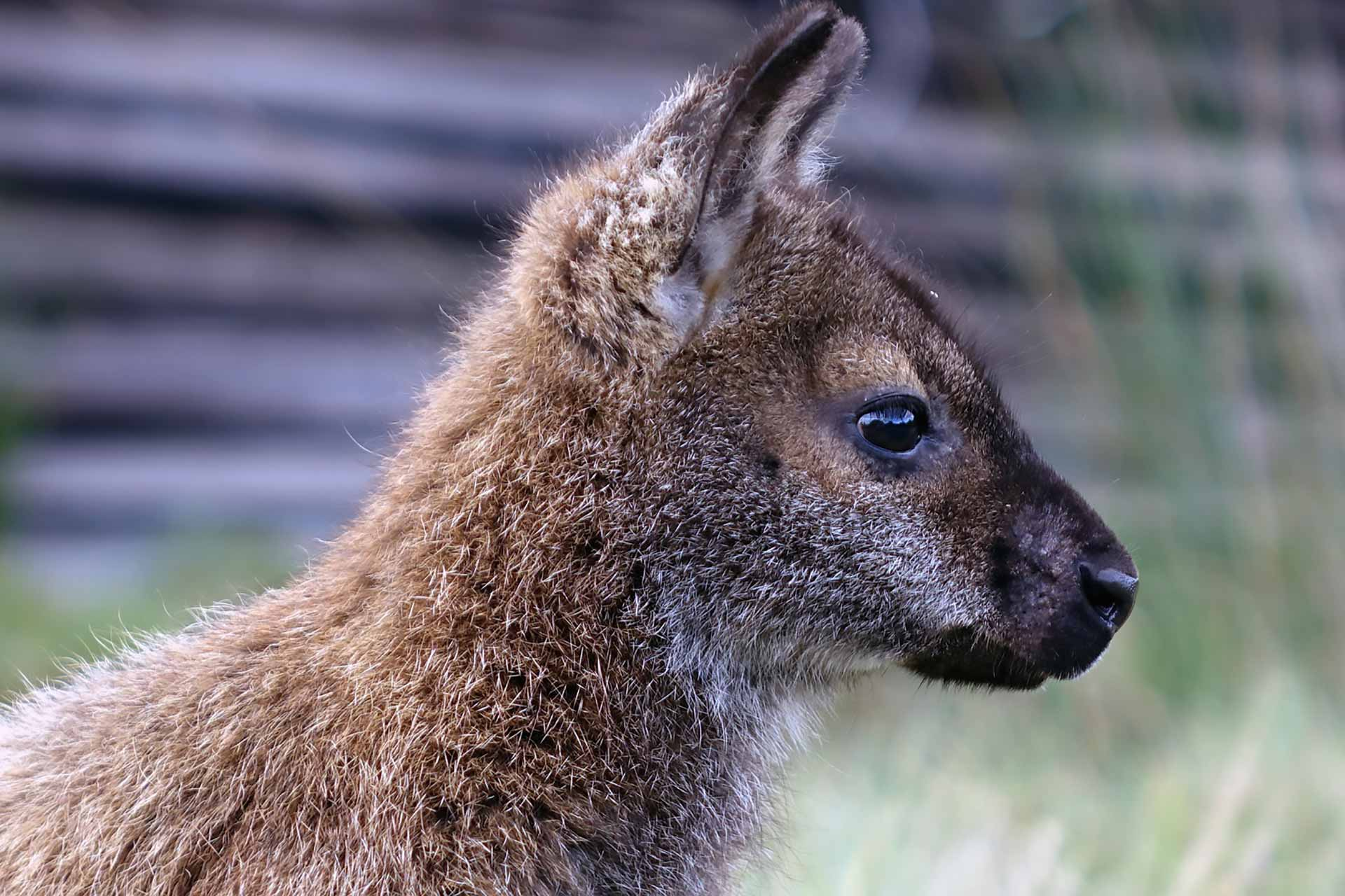 Wallaby in Tasmania