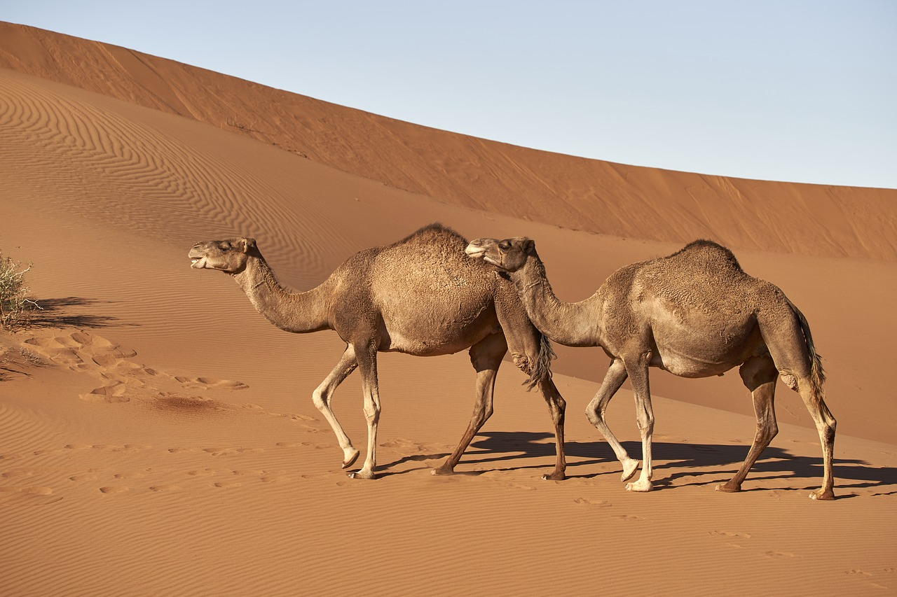 Camels Sahara Desert, Mystical Morocco, Africa, WOW 2020