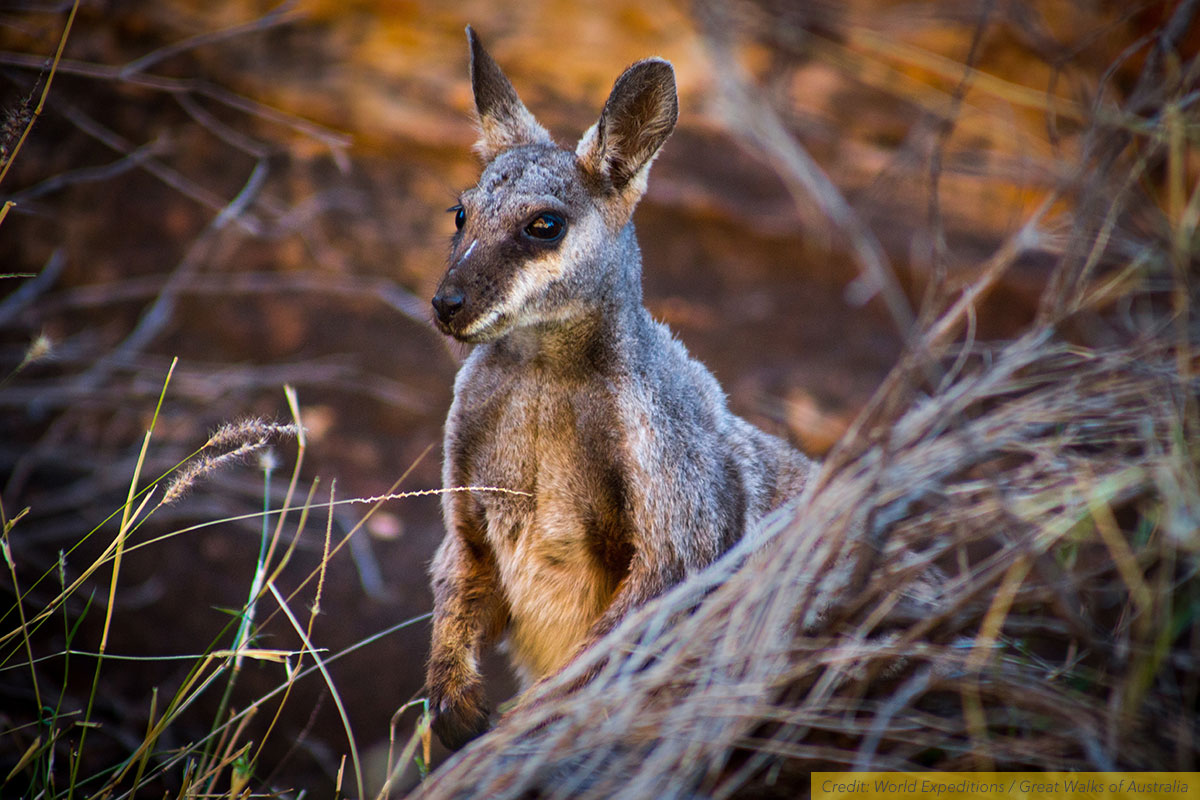 Black-footed Rock Wallaby at Simpsons Gap, Western MacDonnell Ranges, NT, Austraila