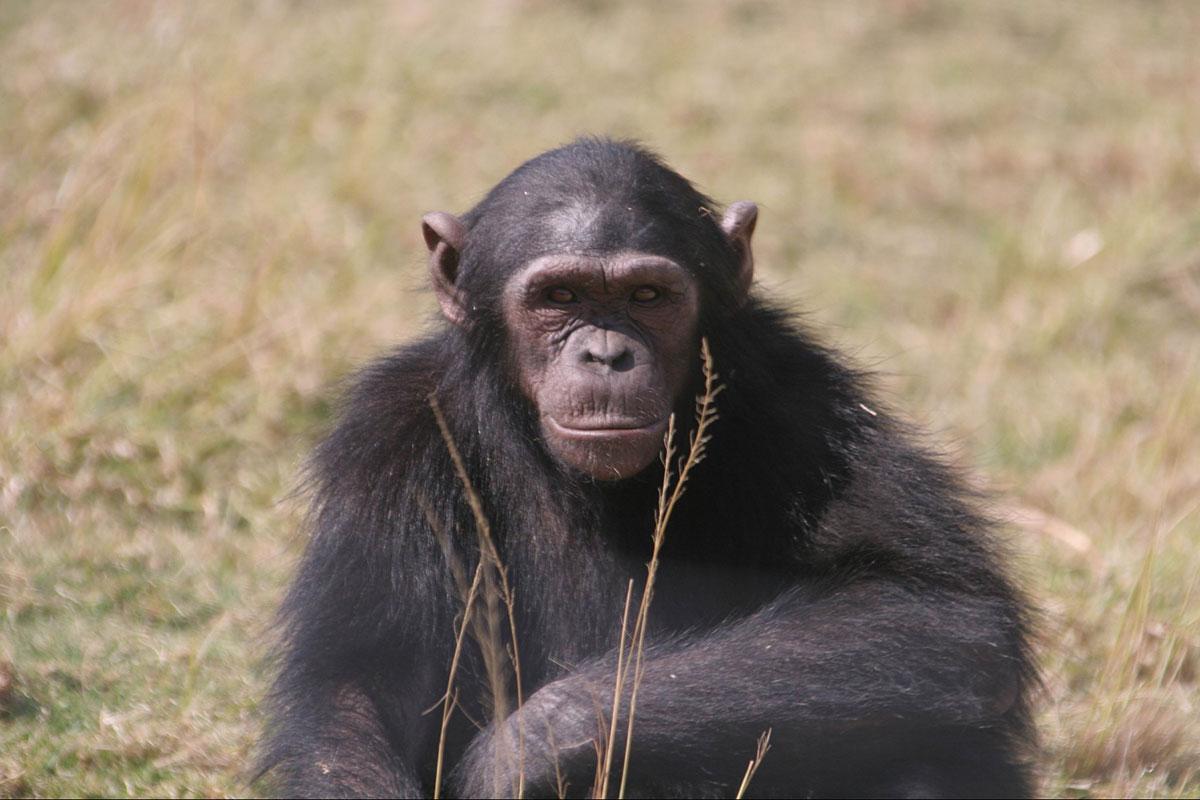 Jane Goodall, Chimpanzee, Eden