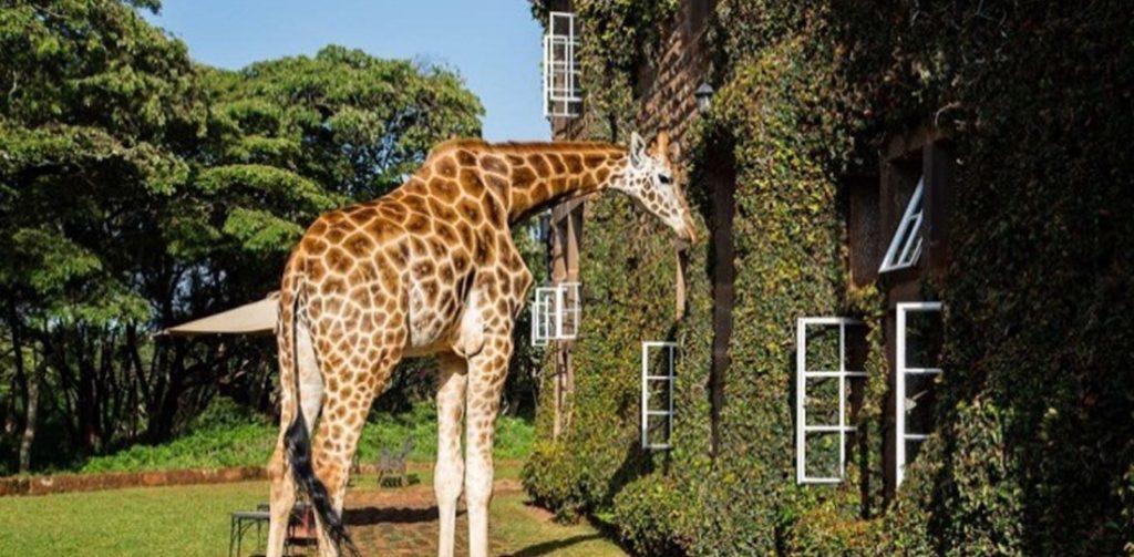 Karen Blixen Giraffe Centre Kenya, Africa