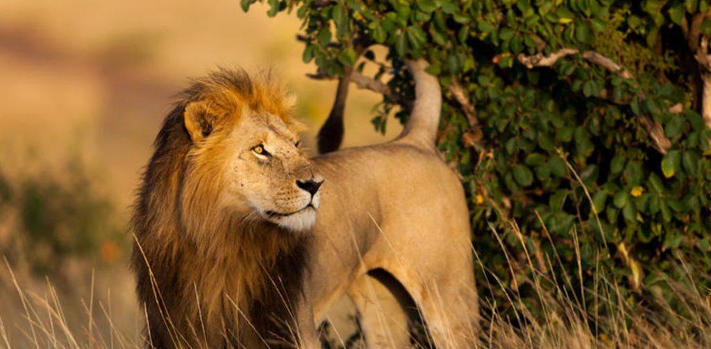 Lion in the Masai Mara Game Reserve, Kenya, Africa Safari