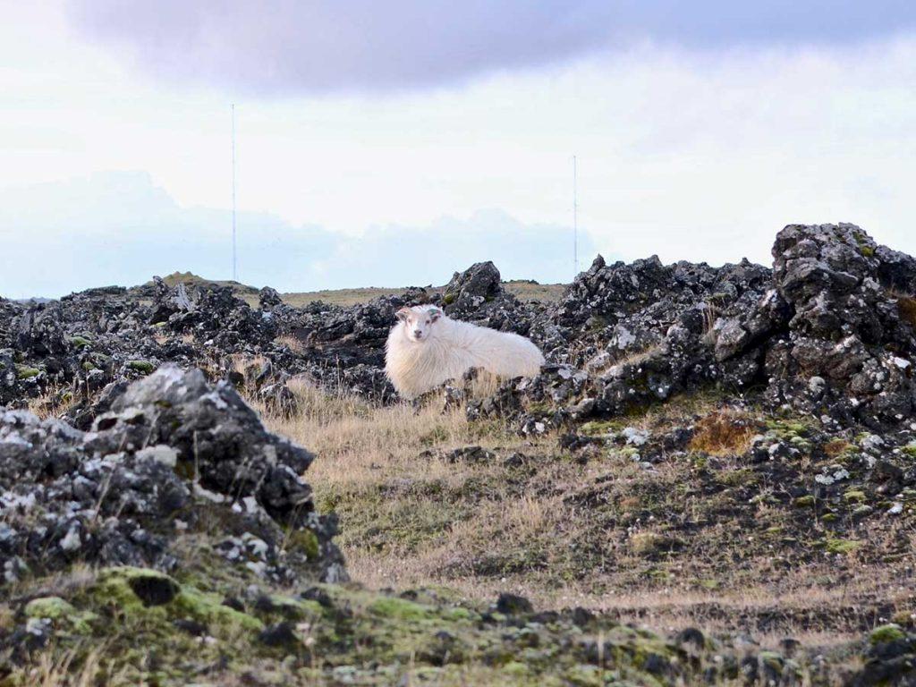 Sheep near Grindavik, Reykjanes Peninsula, Iceland