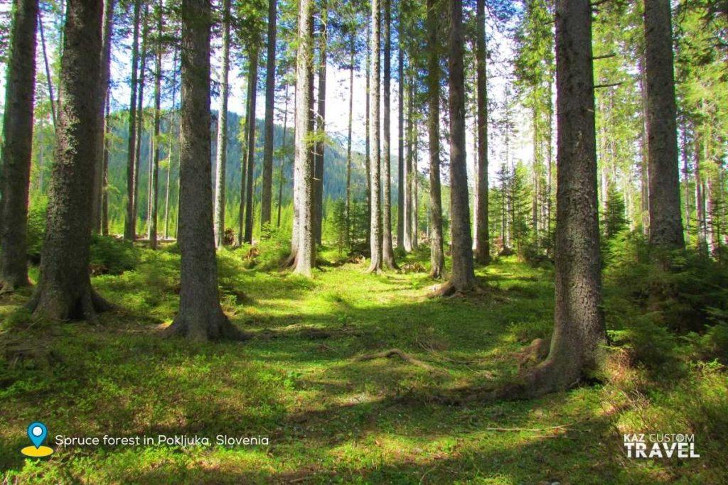 Spruce forest in Pokljuka, Slovenia